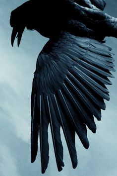 """Lombard blackbird by Daniela Lombard """