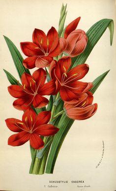 Hesperantha coccinea - circa 1845