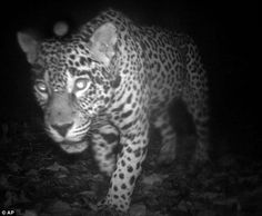 A jaguar in the Central Suriname Nature Reserve, one of almost 52,000 photos taken during the study with hidden cameras in the jungle. Please double click to see more.