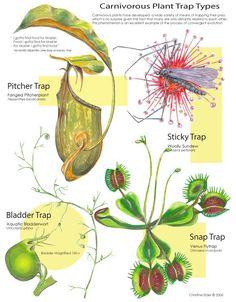 Resultado de imagen de venus flytrap mechanism plantas carnivorous plant field gui ccuart Choice Image