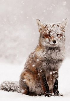 Fox covered in snow, he might be freezing