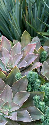 Succulents. Gray - Grey & Sliver;  Sedum and Echeveria