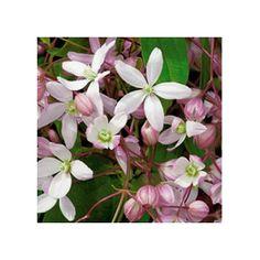 AUS32818 Pflanzen - Baum & Strauch - Kletterpflanzen - Immergrüne Clematis Apple Blossom, 1 Stück