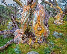 Ancient Snow Gums Trees Kosciuszko National Park NSW Australia Eucalyptus pauciflora are alpine trees that grow in the mountains of the southeastern Australian mainland d. All Nature, Nature Tree, Amazing Nature, Alpine Tree, Weird Trees, Old Trees, Snow Trees, Unique Trees, Trees Beautiful