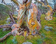 Snow gums (Eucalyptus pauciflora) are the quintessential alpine tree of the mountains of the southeastern Australian mainland. Forests and woodlands of Snow Gums can look quite uniform from a distance, but up close they have such character. These examples in the Kosciusko National Park