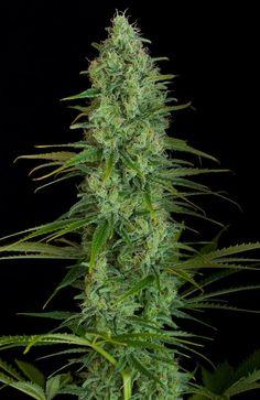 Critical Jack Feminized Cannabis seeds Dinafem. Critical Jack semillas…