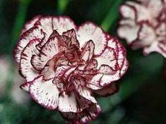 Cravo (Dianthus caryophyllus)