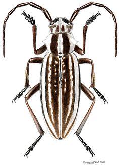 Dorcadion absinthium ishkovi (Cerambycidae)