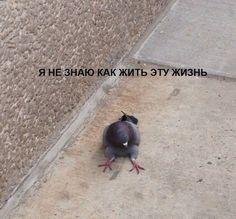 Ever seen a sitting pidgeon? Stupid Pictures, Meme Pictures, Reaction Pictures, Cat Memes, Funny Memes, Hello Memes, Russian Memes, Response Memes, Text Jokes