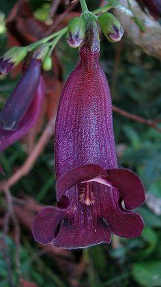 Purple-Flowered Jacaranda (Jacaranda jasminoides)