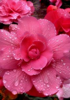 690 best pretty pink flowers images on pinterest beautiful pink and pretty water soaked begonias picsvisit mightylinksfo