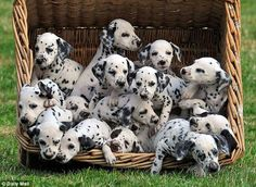 Dalmatian puppies are the cutest!