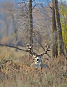 Monster non-typical Mule Deer, Grand Teton National Park, Jackson Hole, Wyoming,     The story of this huge buck  A trophy buck ~ through the years.  http://daryl-hunter.net/a-trophy-buck-through-the-years