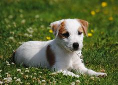 PARSON RUSSELL TERRIER Terrier Dogs, Terriers, Jack Of Hearts, Parson Russell Terrier, Jack Russell Dogs, Jack Russells, Dogs And Puppies, Labrador Retriever, Corgi