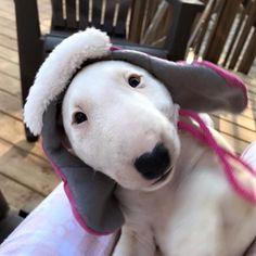 @beverlykrautler a little out of focus but that hat ! #bullterrierpics #bullterrier #ebt #bullie #bullterrierinstagram #bullterrierlove #bullterrierstyle #englishbullterrier #dogs #bullterriersofinstagram #bullterriers #dog #bullterrierlife #bullterrierwo