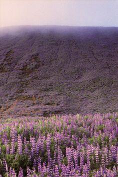 Botnsvatn Lupines | Iceland (by Lighthouse Keeperess)