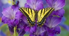 The Two-tailed Swallowtail Butterfly on Purple Glad photograph by:  Darrell Gulin