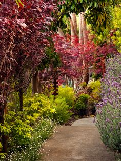 Dark red plum tree leaves and fiery red Japanese maple leaves contrast perfectly with lavender on the entryway to the home. These plants show their color for a long period of time.