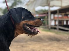 Rottweiler Love, Friends, Pictures, Dogs, Animals, Fotografia, Amigos, Photos, Animales