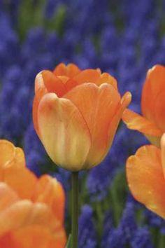 Tulip Orange Queen