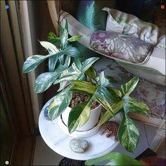 Philodendron 'Florida Beauty' Inside Plants, All Plants, Indoor Plants, Philodendron Scandens, Hydroponic Plants, Banana Plants, Plants Are Friends, Variegated Plants, Foliage Plants