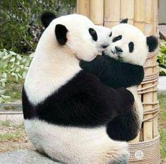 baby panda bears Can you do a panda thread? Here you go Enjoy source panda_lover_ig Funny Panda Pictures, Panda Images, Panda Funny, Animal Pictures, Niedlicher Panda, Panda Love, Cute Panda Baby, Panda Kindergarten, Beautiful Creatures
