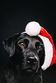 Ho ho ho! Merry Christmas! Pfotentick Hundefotografie Studio Shooting Juli  #labrador #winter #shooting #schal #hundefotografie
