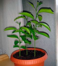 Как ухаживать за мандариновым деревом в горшке