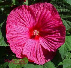 H.moscheutos Luna Rose