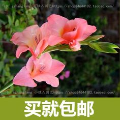 Cheap bulb lamp, Buy Quality bulb color directly from China seed kit Suppliers: Color optional Gladiolus seed planted 10 seeds Planting Seeds, Garden Supplies, Bonsai, Alibaba Group, Home And Garden, Rose, Flowers, Plants, Color
