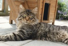 Maine Coon, Black Tabby Mackerel (n Amna Aijah Ernerk Cattery, Maine Coon, Kitten, Future, Pets, Animals, Black, Cute Kittens, Kitty