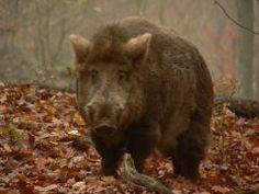Beautiful  wildschweine net Den Wildschweinen auf der Spur