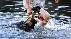 Goats are sunk into the Atlantic as part of yearly tradition in Tenerife, Spain! | YouSignAnimals.org