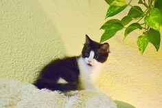 #KOSHKA es tan pequeñaja que se pierde en un sofá de tres plazas, jeje http://adopcionesfelinas.foroactivo.com/t801-koshka-gatita-blanquinegra-cruce-con-persa-de-pelo-semilargo-nacida-en-abril15-en-adopcion-valencia…