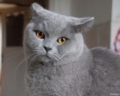 Kot brytyjski Edgar
