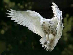 Owls Pictures (102) by al7n6awi, via Flickr
