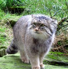 Pallas's cat is a small wild cat having a broad but patchy distribution in the grasslands and montane steppe of Central Asia. The species is negatively affected by habitat degradation, prey base decline, and hunting, and has therefore been classified as 'Near Threatened' by IUCN since 2002.