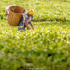 People of Kenya - 8 A worker picks tea leaves at a tea plantation in Limuru. #africa #kenya #nairobi #limuru #tea