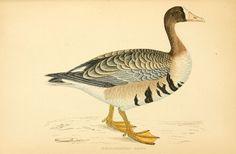 A history of British birds 1862-67