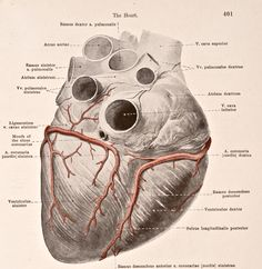 A medical illustration from 'HandAtlas of Human Anatomy volume 2' shows the arteries of the heart view from below 1923