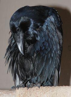 Common Raven (Darth by Glori Berry Raven And Wolf, Quoth The Raven, Raven Bird, Raven Wings, Crow Art, Bird Art, Choucas Des Tours, Raven Tattoo, Jackdaw