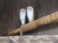 Connecticut Beardsley Zoo barn owls