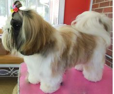 Great Shih Tzu haircut done by Gordon's Grooming (http://gordonspetgrooming.com/) in Plymouth, IN #shihtzu