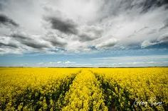 Image result for rapeseed field Rapeseed Field, Breathe, Clouds, Concept, Outdoor, Image, Ideas, Outdoors, Outdoor Games