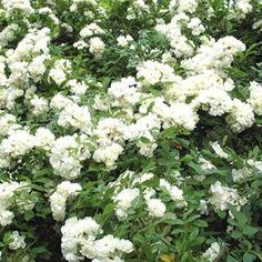 La Rose de Mai. Ce rosier liane produit une profusion de petites fleurs blanches parfumées. Rosier persistant. Pour climat doux.
