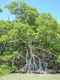 """Red mangrove (the """"walking tree""""), South Florida. (Photo: Ethan Shaw.)"""