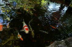 The Koi are hungry. Did you bring us a snack? Koi, Jackson, Nursery, Patio, Fish, Snacks, Christmas Ornaments, Holiday Decor, Painting
