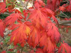 Acer shirasawanum   Flickr - Photo Sharing!