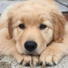 Golden puppy - Tap the pin for the most adorable pawtastic fur baby apparel! You'll love the dog clothes and cat clothes! <3