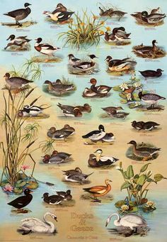 A great poster with a wonderful selection of Waterfowl - Ducks and Geese are among the most beautiful birds in American wildlife! Fully licensed. Ships fast. 27x39 inches. Need Poster Mounts..? bm3886